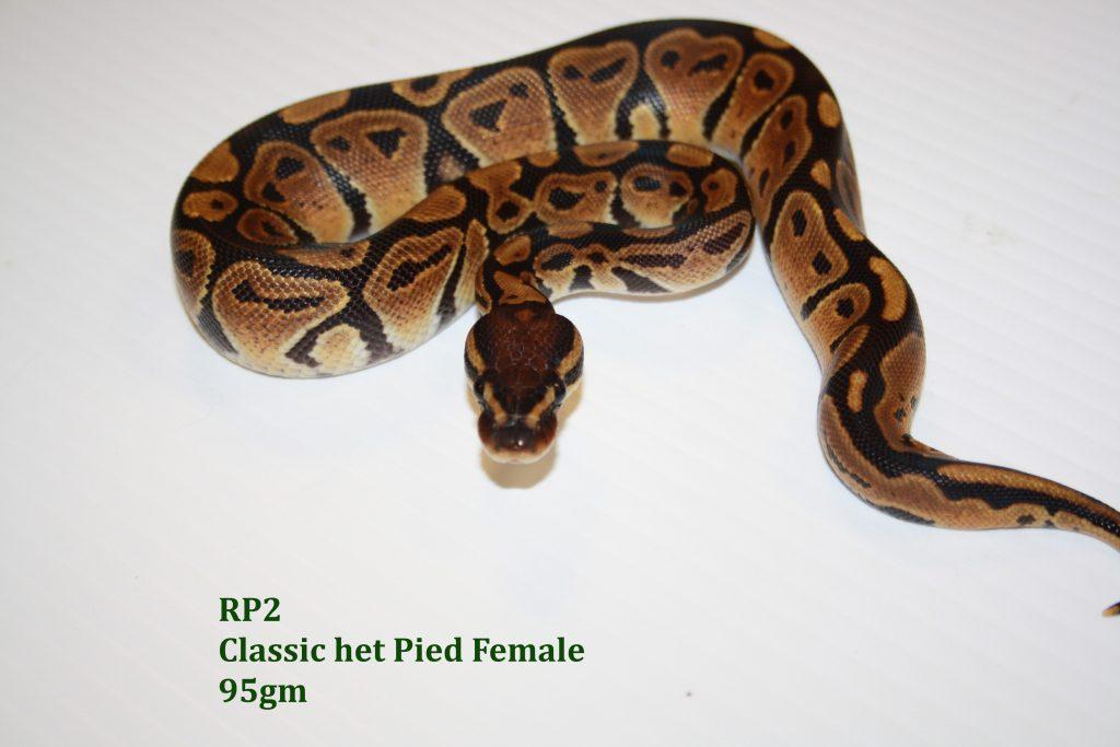 RP 2 Royal Python